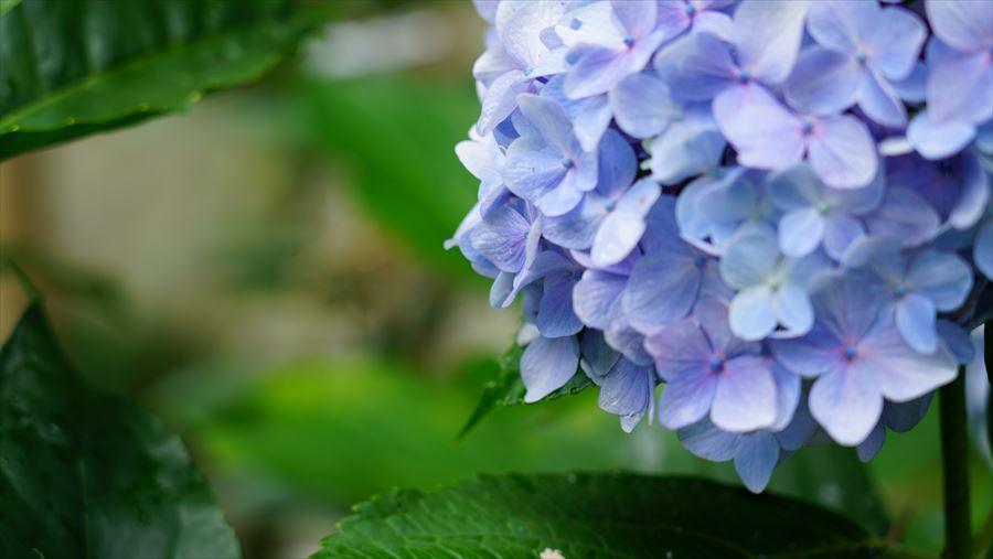 竹生島 参道の紫陽花